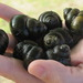 River Snails - Photo (c) jonathan, all rights reserved, uploaded by Jonathan Trouern-Trend