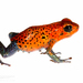 Strawberry Poison Dart Frog - Photo (c) J.P. Lawrence, all rights reserved