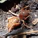 Stenopelmatus mahogany - Photo (c) Cedric Lee, todos los derechos reservados