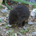 Meadow Vole - Photo (c) John Beatty, all rights reserved