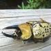 Dynastes tityus - Photo (c) sachagriffin, todos los derechos reservados, uploaded by sachagriffin