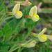 Lotus maritimus - Photo (c) Tig, todos los derechos reservados