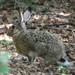 Apennine Hare - Photo (c) enricoschifani, all rights reserved, uploaded by Enrico Schifani