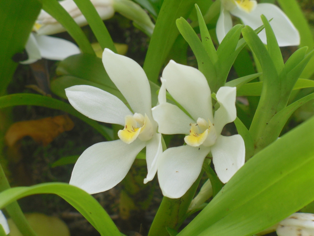 Maxillaria lutescens - Photo (c) axca, all rights reserved