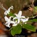 Swamp Azalea - Photo (c) Brad Moon, all rights reserved