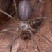 Loxosceles reclusa - Photo (c) Kevin Wiener, כל הזכויות שמורות