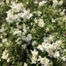 Lewis' Mock Orange - Photo (c) monte007, all rights reserved