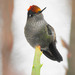 Green-backed Firecrown - Photo (c) Mauricio Ocampo Ballivian, all rights reserved