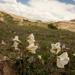 Lycianthes peduncularis - Photo (c) Luis Boullosa, todos los derechos reservados, uploaded by Luis F. V. V. Boullosa