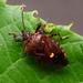 Pinthaeus sanguinipes - Photo (c) WonGun Kim, all rights reserved