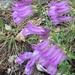 Penstemon fruticosus - Photo (c) catbird13, todos los derechos reservados