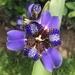 Trimezia coerulea - Photo (c) Yiya MunCos, todos los derechos reservados