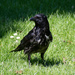 Hooded × Carrion Crow - Photo (c) Lynda Elkin, all rights reserved
