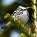 Blackpoll Warbler - Photo (c) Marc Faucher, all rights reserved