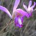 Bletia reflexa - Photo (c) Chris Lloyd, todos los derechos reservados
