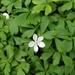 Anemonoides quinquefolia - Photo (c) Jason White, כל הזכויות שמורות