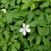 Wood Anemone - Photo (c) Jason White, all rights reserved