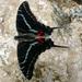Dark Kite-Swallowtail - Photo (c) Henry (Hank) Fabian, all rights reserved