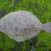 Summer Flounder - Photo (c) Jeff S., some rights reserved (CC BY-NC)