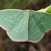 Chlorocoma dichloraria - Photo (c) Jenny Holmes, כל הזכויות שמורות