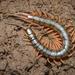 Scolopendra japonica - Photo (c) Susan Myers, todos los derechos reservados