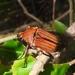 Cosmiomorpha similis - Photo (c) aero bird, todos los derechos reservados