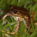 Forrer's Grass Frog - Photo (c) Bart, all rights reserved, uploaded by BJ Smit