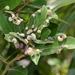 Trioza magnoliae - Photo (c) Jay L. Keller, todos los derechos reservados