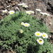 Erigeron compositus - Photo (c) chalcenterous, todos los derechos reservados, uploaded by Alex Wright