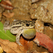 Rhinella pygmaea - Photo (c) Henrique Nogueira, all rights reserved, uploaded by c henrique oliveira