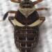 Pissonotus flabellatus - Photo (c) John Schneider, todos los derechos reservados