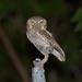 Elf Owl - Photo (c) mjskinner, all rights reserved