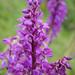 Orchideae - Photo (c) Gilberto Sánchez Jardón, todos os direitos reservados