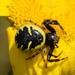 Napoleon Spider - Photo (c) Gilberto Sánchez Jardón, all rights reserved