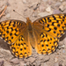 Callippe Fritillary - Photo (c) Logan Crees, all rights reserved