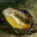 Petroscirtes lupus - Photo (c) Andrew Trevor-Jones, todos los derechos reservados