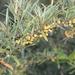 Espino Amarillo - Photo (c) naturalist, todos los derechos reservados, uploaded by naturalist