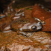 Kalimantan Jungle Toad - Photo (c) Chien Lee, all rights reserved