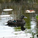 Southern African Black Duck - Photo (c) Chris Whitehouse, all rights reserved
