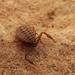 Pseudogarypus bicornis - Photo (c) andybetter, כל הזכויות שמורות