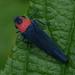 Barbinolla costaricensis - Photo (c) Ryan Andrews, όλα τα δικαιώματα διατηρούνται