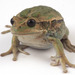 Andean Marsupial Frog - Photo (c) lac, all rights reserved, uploaded by Luis Coloma