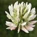 White Clover - Photo (c) Grant Fessler, some rights reserved (CC BY-NC)
