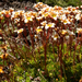 Tufted Saxifrage - Photo (c) Wendy Feltham, all rights reserved