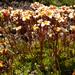 Saxifraga cespitosa - Photo (c) Wendy Feltham, כל הזכויות שמורות