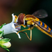 Typical Hover Flies - Photo (c) João P. Burini, some rights reserved (CC BY-SA)