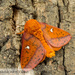 Spiny Oakworm Moth - Photo (c) John and Kendra Abbott, all rights reserved, uploaded by John Abbott