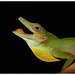 Amazon Green Anole - Photo (c) pedroivosimoes, all rights reserved, uploaded by pedroivosimoes