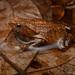 Ingerophrynus quadriporcatus - Photo (c) Chien Lee, όλα τα δικαιώματα διατηρούνται