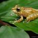 Philautus tectus - Photo (c) Chien Lee, todos los derechos reservados
